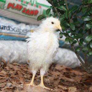 Leghorn chick out of brooder for a few hours