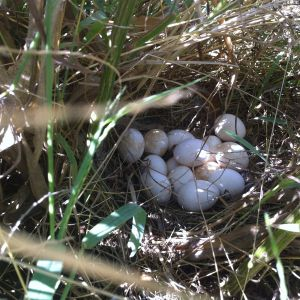 one of our hens went missing, and when we found her she had 14 eggs!