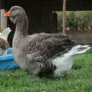 grey dewlap Toulouse goose 2.5 years old