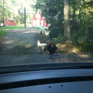 I'm definitely going to need a Chicken Crossing sign.