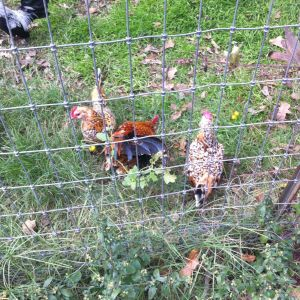New chickens!!!