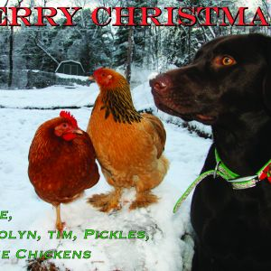 We decided to include our chickens (2 out of 6 posed) in our Christmas card picture.  This is their first Winter!!