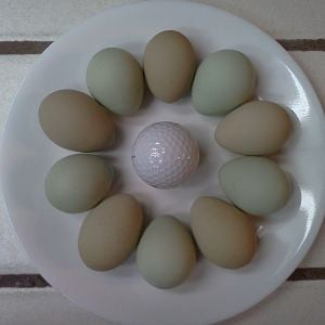 Bantam Easter Egger pullet eggs!  January 2014