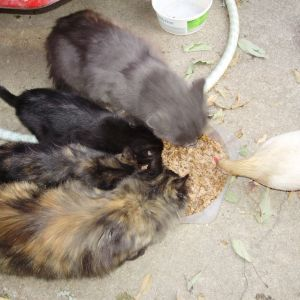 My  serama  Named  GORBIE  sharing food with our kittens.
