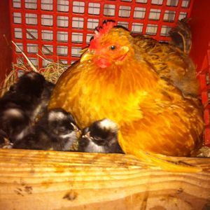 Cuckoo Marans Hatching Under Their Momma! She also accepted some Cuckoos who hatched in an incubator.