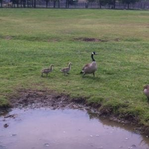 These are not my geese.
