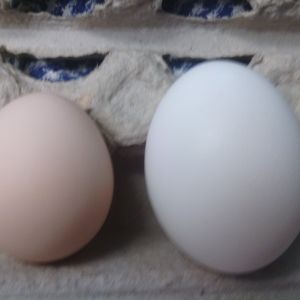 my second egg next to a large white store bought egg