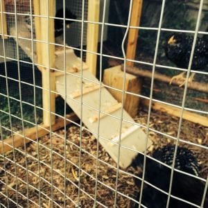 Temporary run attached to coop while transferring from the brooder and building the large surround run.