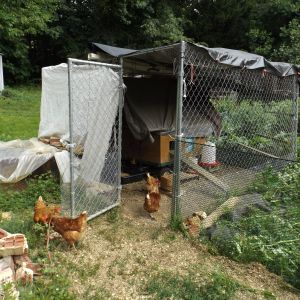 Just rained, we have made improvements.  They only go in the coop at sundown.   So cool that they did not need training.
