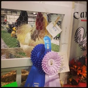 Foghorn... My sweet Fog. The best show chicken in Alabama. Winning many, many first place ribbons. Grand champion and reserve champion.