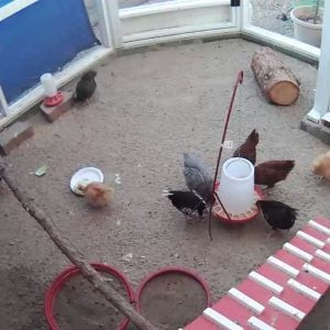 Hen Cam ... view from the hen house corner