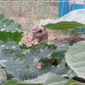 My hubby's turkey, not eating my garden, as he promised. Whatever