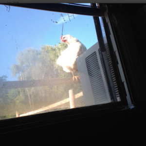 A chicken on top of the tall fence outside my window(: