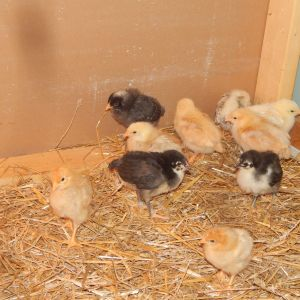 Two weeks old and moved to a new temporary brooder box.