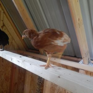 They love being put on the roost.