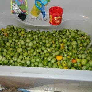 a bathtub full of tomatoes