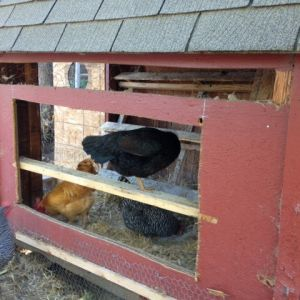 The new nest box hole was cut into the side of the coop.