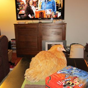 Doesn't everyone have a chicken on their coffee table?