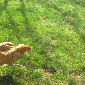 Run, run, run  as fast as you can! You can't catch me, I'm a chicken.