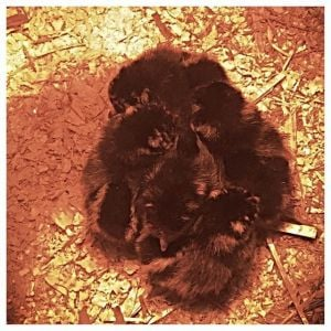 New babies March 2015 golden laced wyandottes
