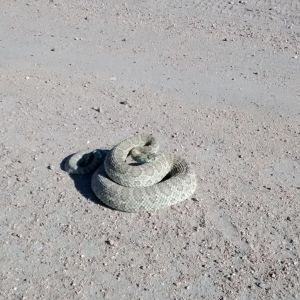 Greetings from the cattle pasture Mr. Rattlesnake :P