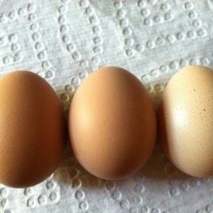 Snow the White Rock's first three tiny pullet eggs, laid at 21 weeks