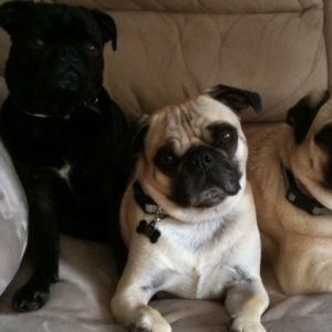 The Pug Brothers