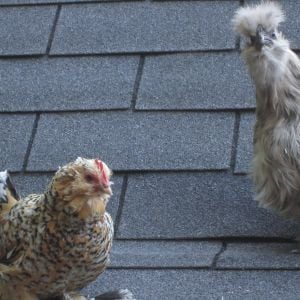 This is one of my favorite pictures. It's Trinity up on the roof with my brother's Silkie, Pepper.