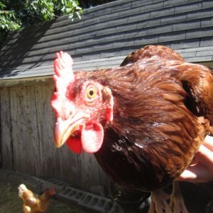 Here's one of my mom's chickens, Stix. Does anyone know what breed it is?
