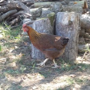 One Welsummer, foraging around the wood pile