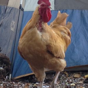 We have a feather eating hen that will be processed soon. She targets Rocco's feathers on his breast area.