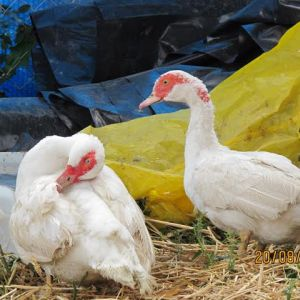 Two of the female muscovy ducks -- the marks on the back of the neck are birthmarks -- before they began sitting on their eggs after less than a month of moving in.
