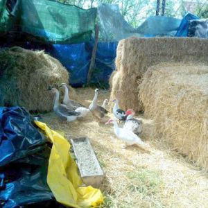 "Located next to the horse stall under the open barn, after three days of being ""couped up"" so they could get used to their new home, like the chickens in their nearby chicken house, the ducks and chickens now have freedom to roam 2 1/2 acres of field from dawn to dusk."