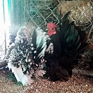 "This roo is called ""Chip"" very small and has some nice hens and pullets to start 2016 with..."