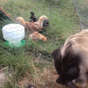 My mastiff inspecting the newcomers