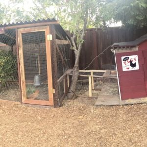 panoramic of the coop/run. We built the run around a small shrub (the bottom 1/3 of which has been eaten) the coop itself is under the canopy of a redwood in the yard.  We  added an automatic door making these chickens some of the more spoiled ones out there. They roam back yard almost everyday, on a mission to turn over every leaf, rock and piece of mulch.