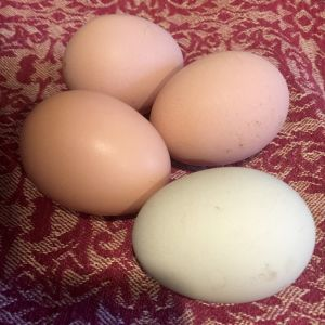 Four eggs today! Got our first green egg from the Easter Egger!