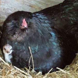 Black ameraucana hen and blue chick