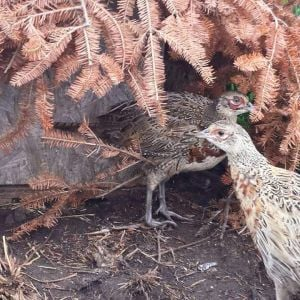Young ringneck pheasants