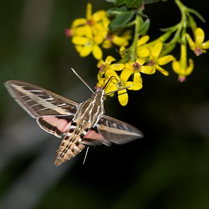 White-lined_sphinx_moth_X5168262_05-16-2019-001