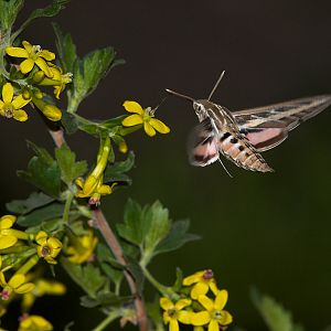White-lined_sphinx_moth_X5168265_05-16-2019-001