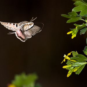 White-lined_sphinx_moth_X5168273_05-16-2019-001