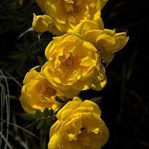 Persian_yellow_rose_X6218690_06-21-2019-001