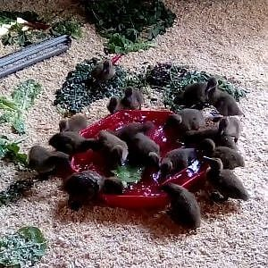 My Very First Khaki Campbell Ducklings!