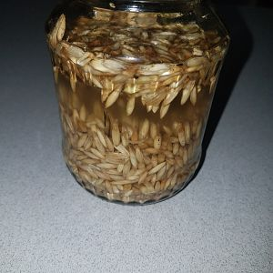 Another trial with Oats in a sprouting glass