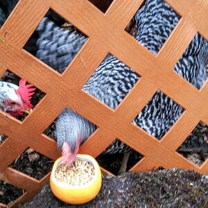 Pullets eat from a Pumpkin