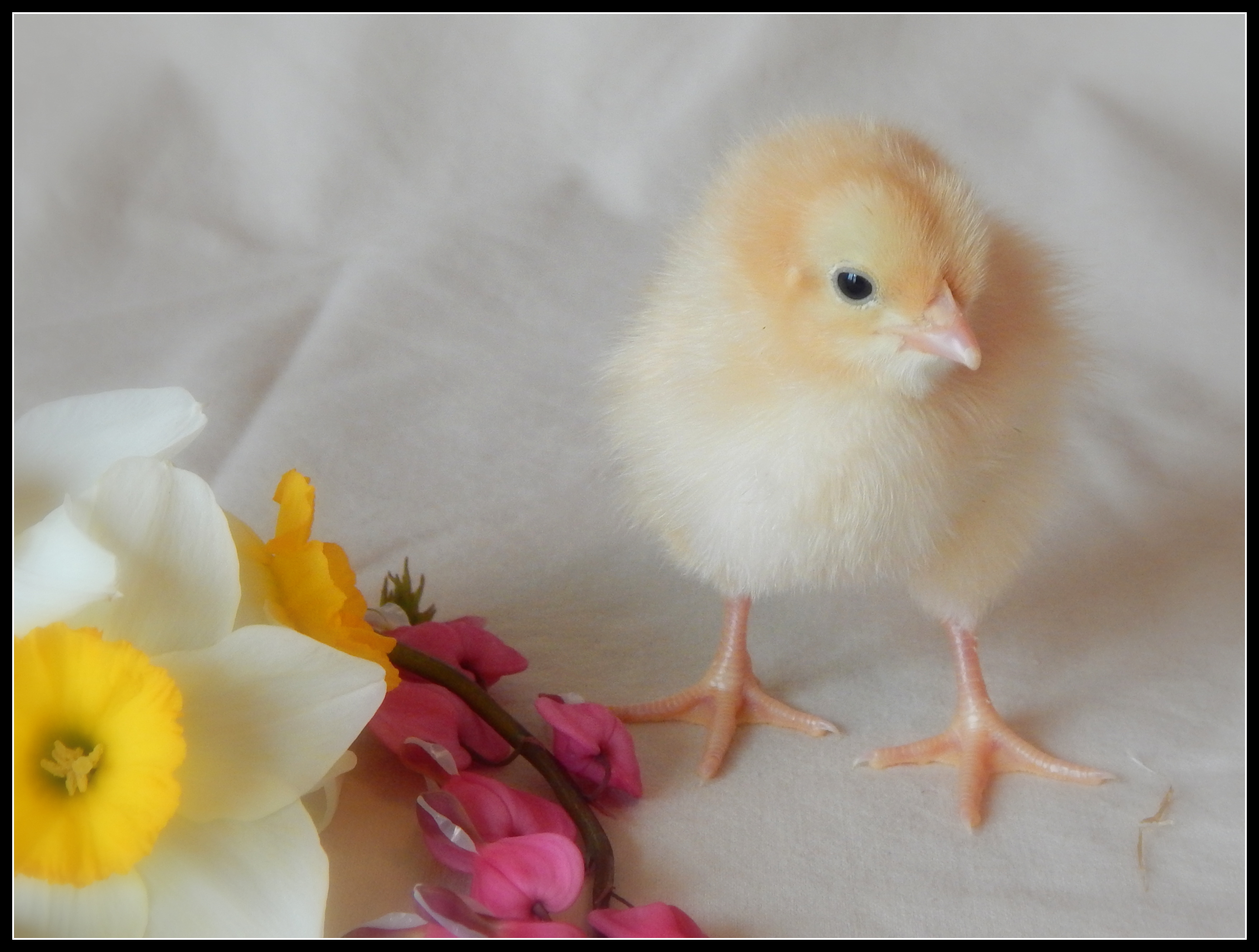 Sexing day old buff orpington chicks — 5