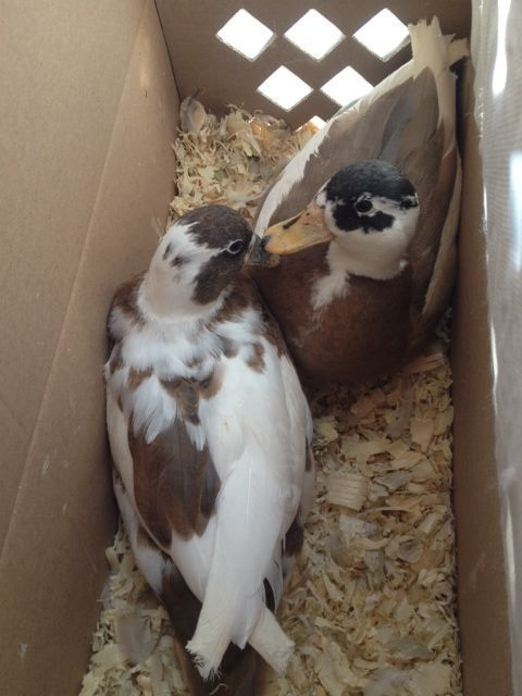 2012 blue fawn pied