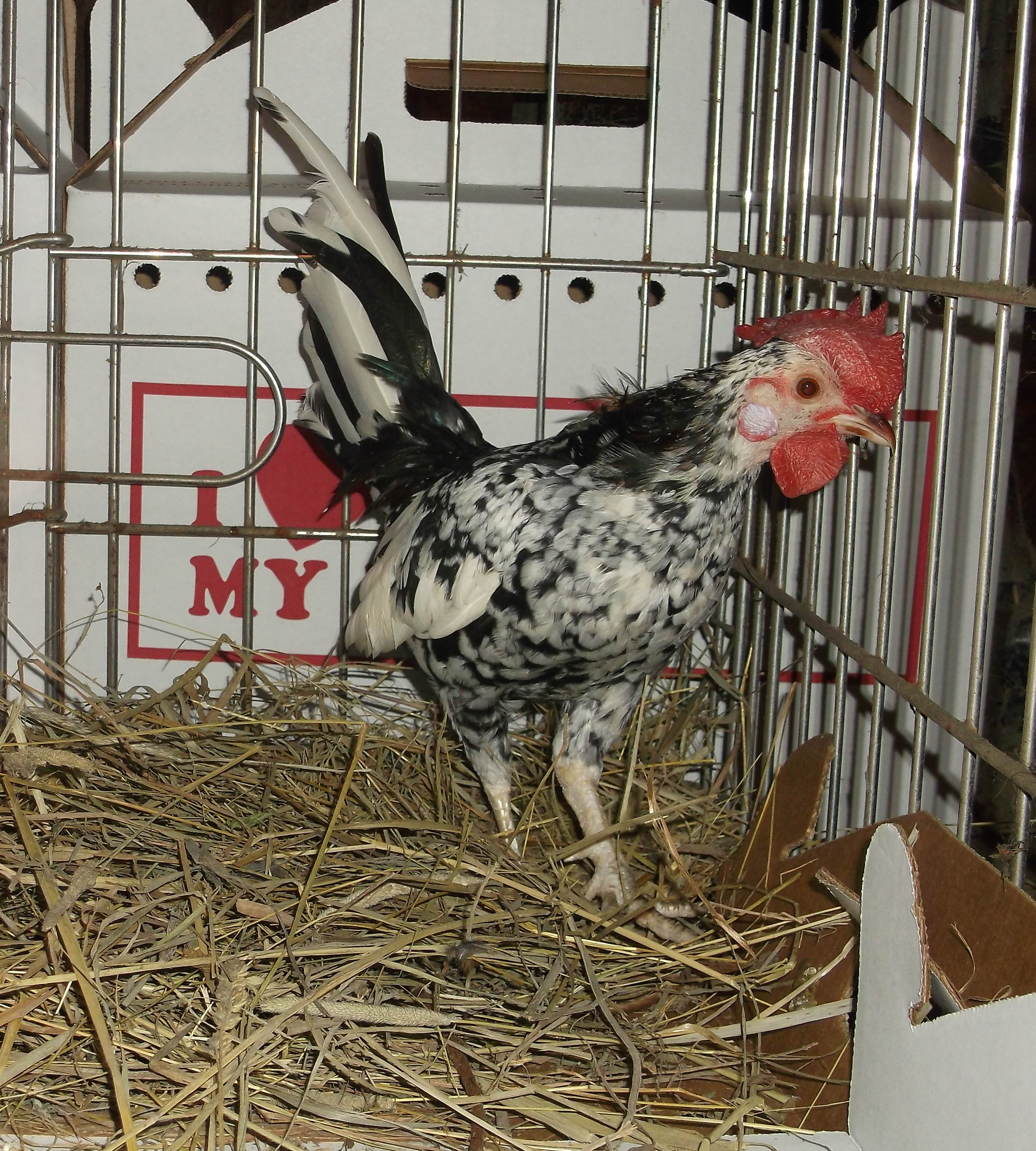 Learn How To Raise Chickens