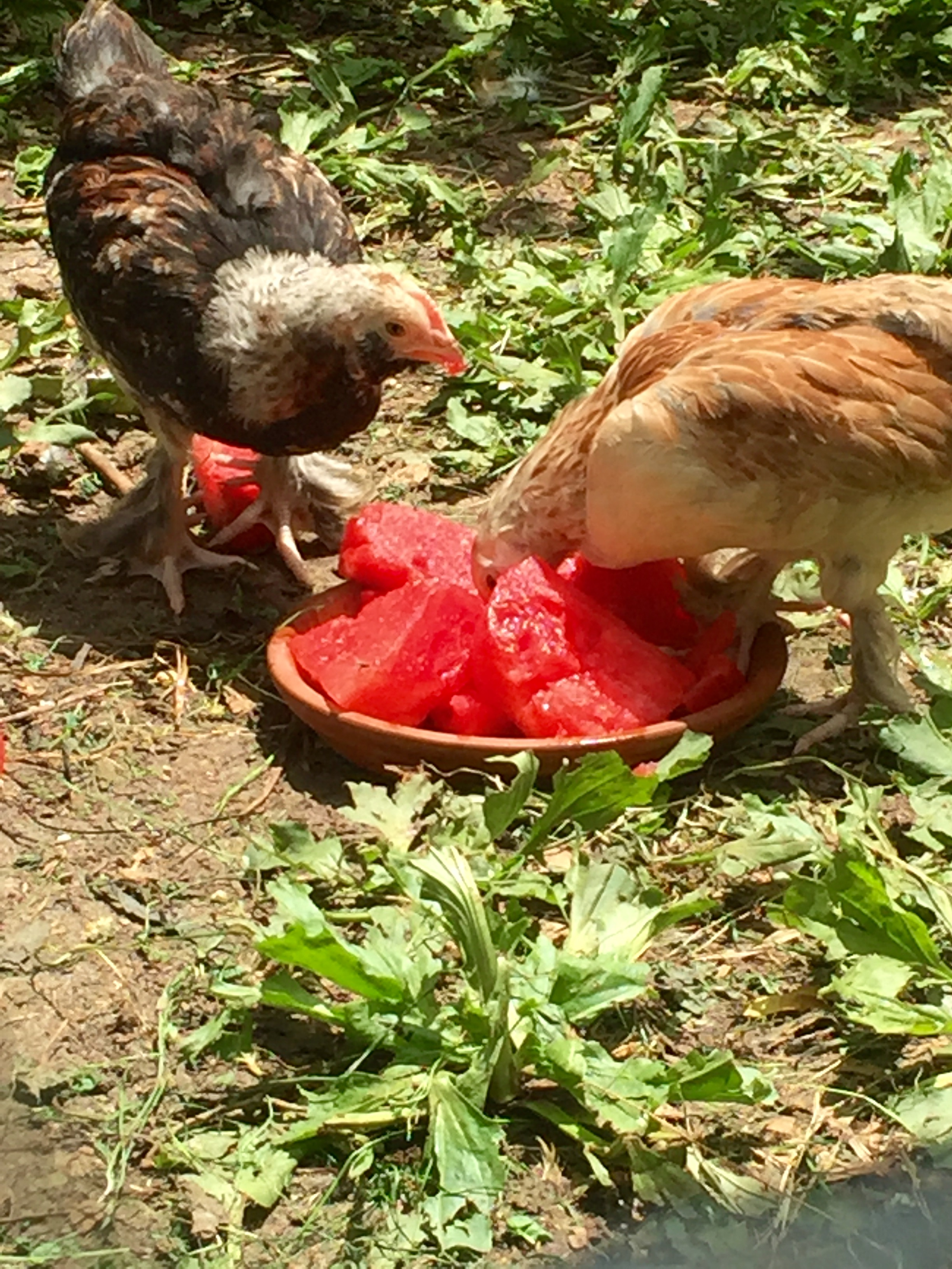 Awesome Backyard Chickens.com